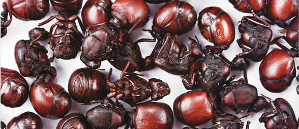 hormigas culonas
